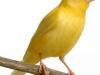 售黄玉鸟公母都有