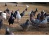 黑龙江种鸽部分种鸽买十对赠一对