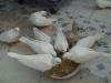 出售观赏鸽美国魔术鸽孔雀尾