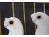 转让观赏鸽子、毛领、豆嘴金眼白