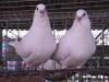 出售自家个人白羽王种鸽